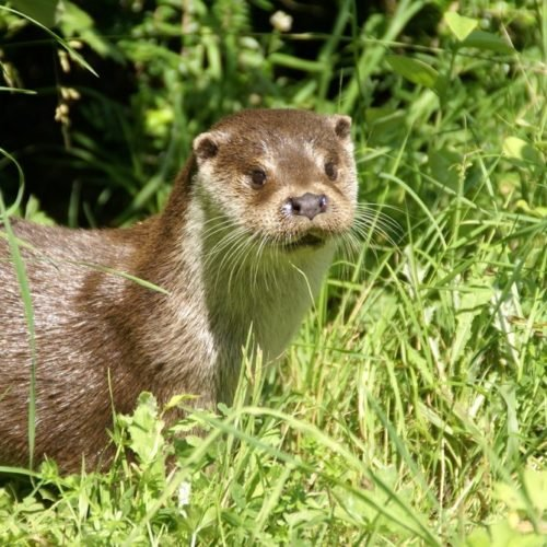 Loutre européenne FabriceCapber Wikimedia Commons